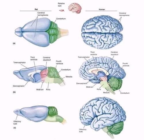 图1 大鼠脑部(左)和人脑(右)的结构示意图